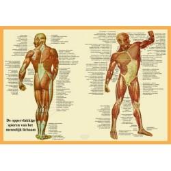 Poster de Spieren 42 x 60 cm geplastificeerd