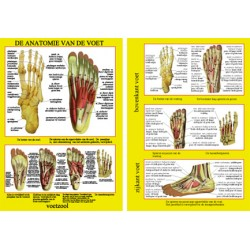 Poster Anatomie van de voet  21 x 30 cm geplastificeerd